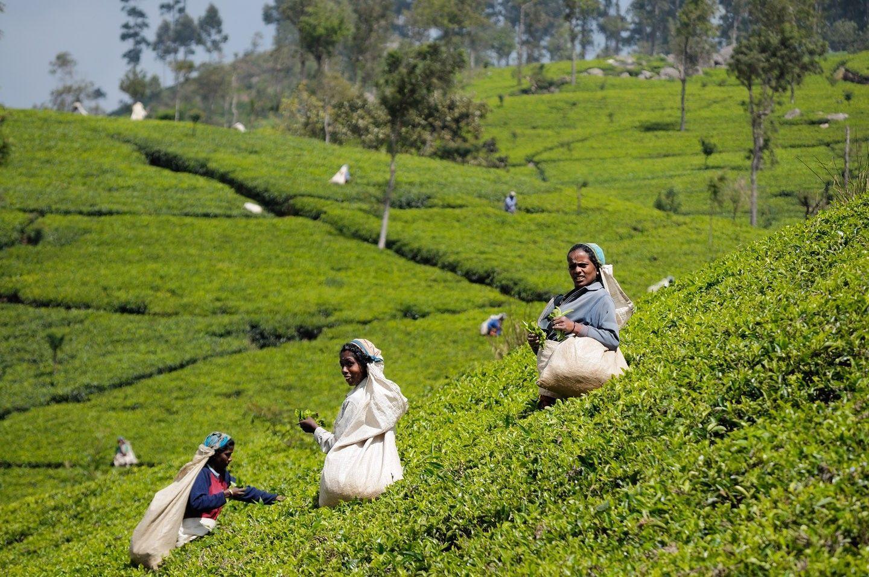SriLanka_TeaHarvest_pixinn.net_